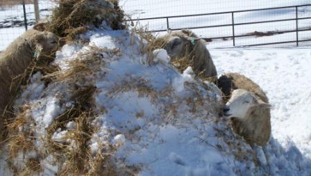 sheepinthesnow_compressed