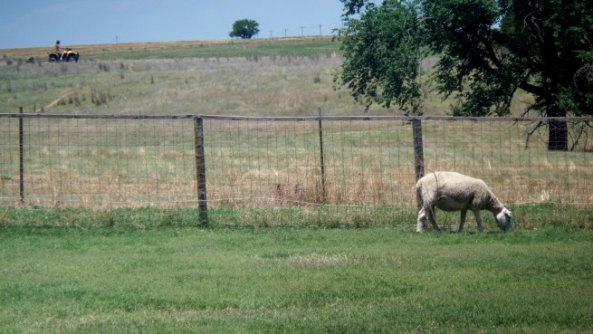 SheepBackyard_RandyMowingPasture_03_compressed