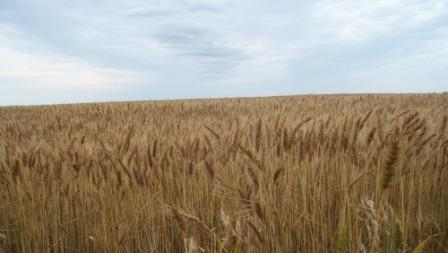 Wheat_compressed