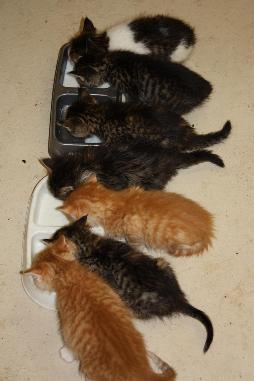 KittensDrinkingMilk_01