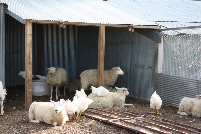 Sheep&ChickensUnderNewCover_01