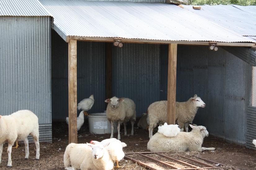 Sheep&ChickensUnderNewCover_02